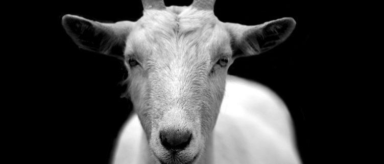 Geit 🐐; Chinese dierenriem horoscoop