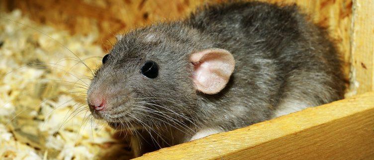 Rat 🐀: Chinese Dierenriem Horoscoop